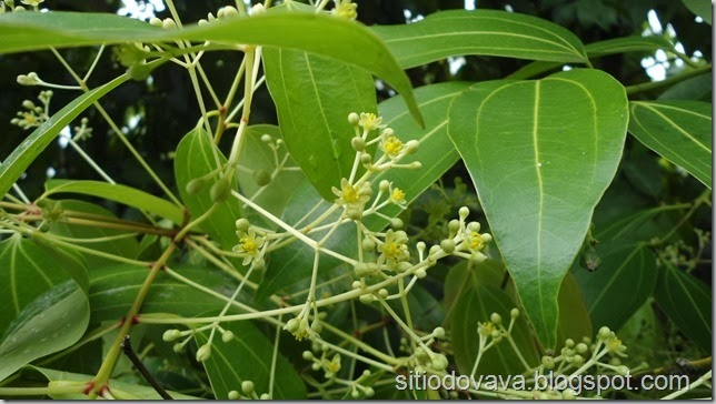 flor da canela