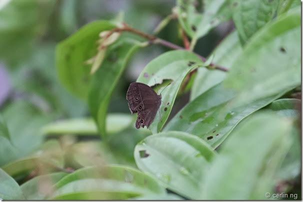 dingy bush brown