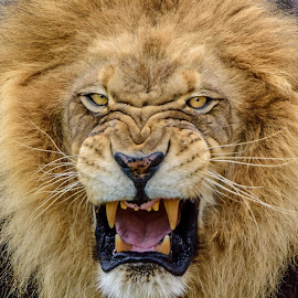 Hear Me Roar!! by William Sawtell - Animals Lions, Tigers & Big Cats ( king of the jungle, lion, nature, wildlife, lions, male lion )