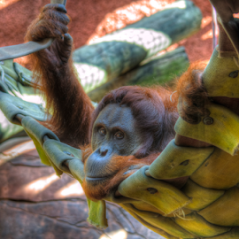 Orangutan by Sean Price - Animals Other Mammals ( hdr, zoo, oklahoma, orangutan, hammock )
