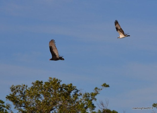 Osprey chasing off the turkey vulture!