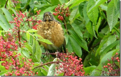 Juvenile robin eating elderberries