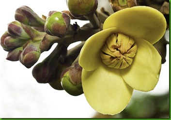 Couroupita  ? flower