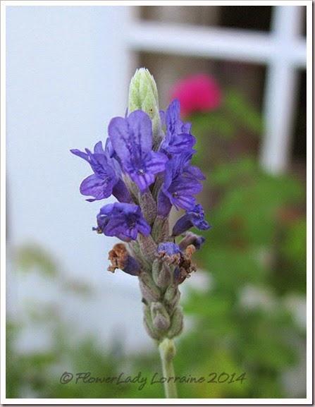 09-23-lavender