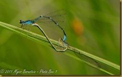 Bluet Mating _DSC6071Macro-Damsel-Dragon-Flowers-Butterfly-scenic-Edit NIKON D300 June 16, 2010