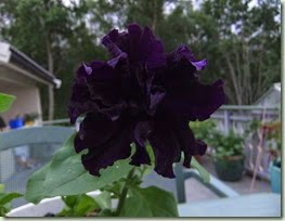 Petunia grandiflora `Polka`