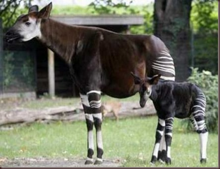 Amazing Animal Pictures Okapi (8)