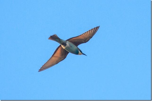 Seaburn_Bee-eater-1