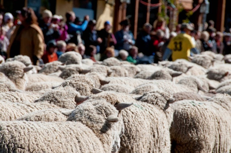 trailing-of-the-sheep-9