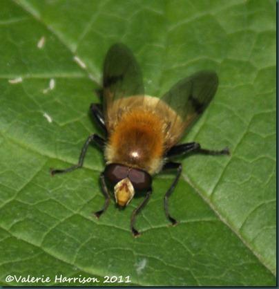 hoverfly Arctophila superbiens