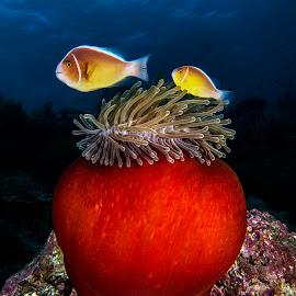 Fish and sea anemone by Rafi Amar - Animals Fish ( nature, underwater, fish, diving, animal, sea anemone )