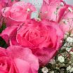 Valentine roses 006.jpg