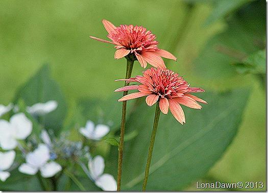 Echinacea_DoubleScoopRaspberry2