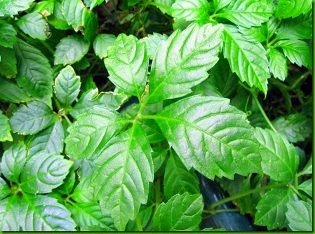 Gynostemma pentaphyllum 2_thumb[1]