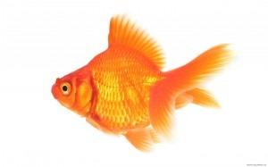 [Goldfish-1440x900-300x187%255B3%255D.jpg]