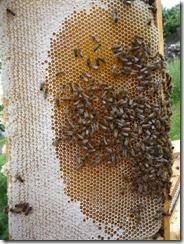 Panenský plást plný medu.