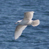 Iceland gull