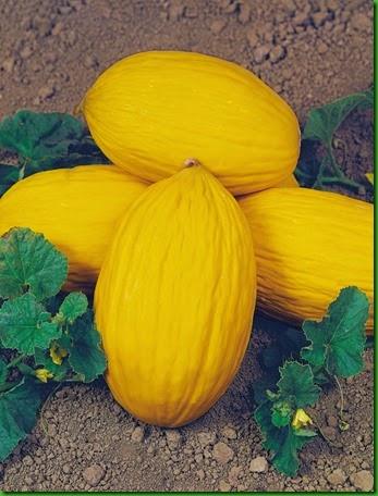 Melão napoletano giallo