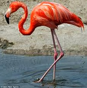 Amazing Pictures of Animals, Photo, Nature, Incredibel, Funny, Zoo, Flamingos or Flamingoes, Phoenicopteridae,  Aves, Bird, Alex (8)