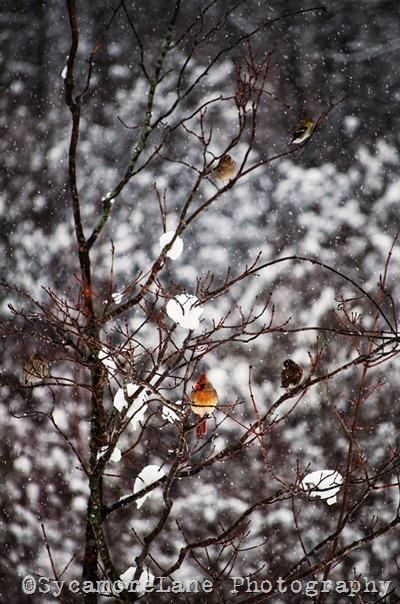 cardinal-w-SycamoreLane Photography