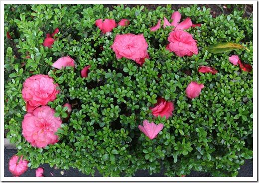 120317_Capitol_Park_Camellia-japonica_15