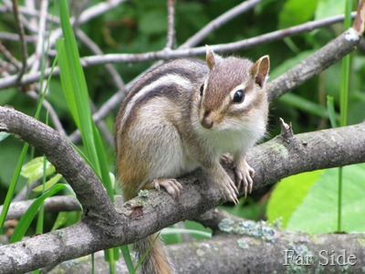 Chipmunk June 03