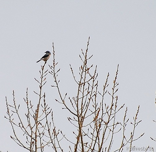 24. Northern shrike-kab