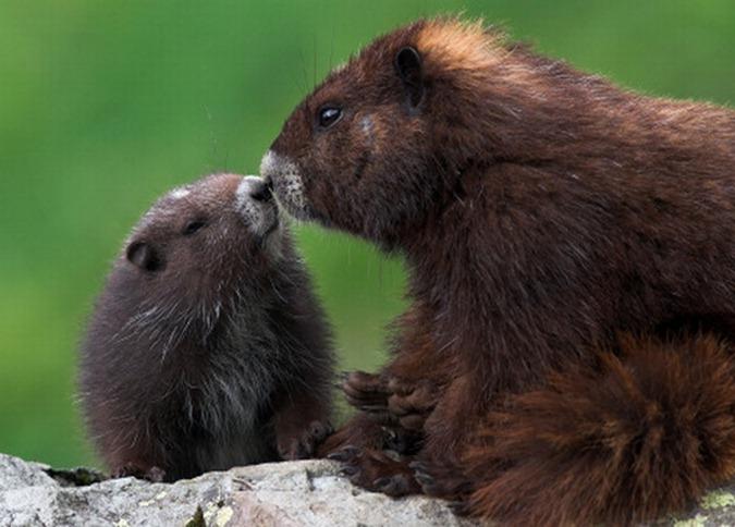 vancouver-island-marmot_RabeL_24429