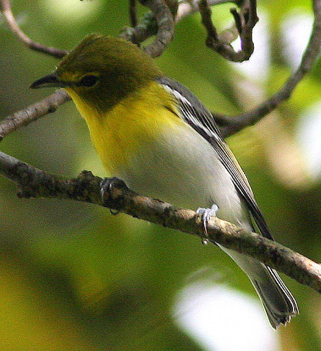 9-18-09, our tulip poplar, male Yellow-throated Vireo (probably 1st fall), 10:17 a.m.
