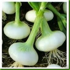 Cipolla Bianca Precoce