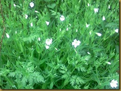 http://www.wildlifetrusts.org/species/greater-stitchwort