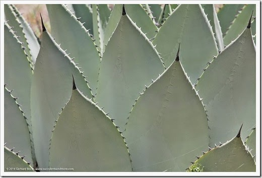 Agave_parryi_teeth
