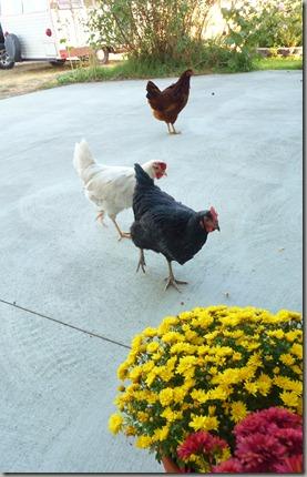 chicks 095