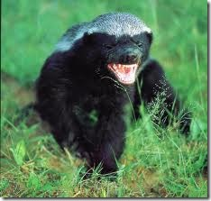 honey badger images