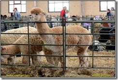 Alpaca Show - Stoneleigh Park