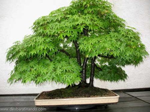 bonsais arvores em miniatura desbaratinando (55)