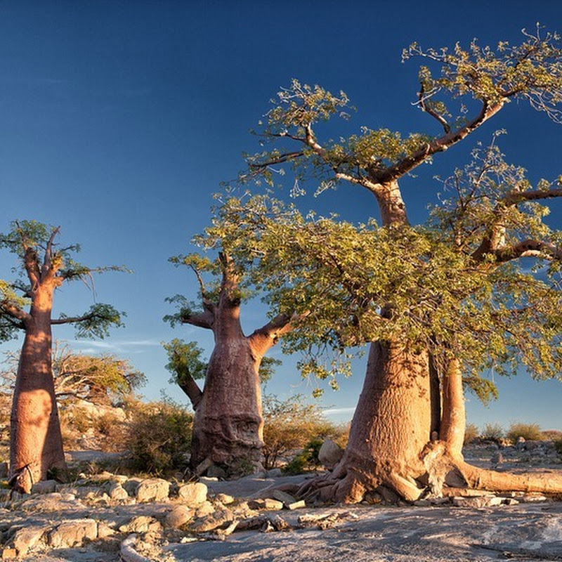 Kubu Island: A Desert Island of Baobabs and Ancient Fossils