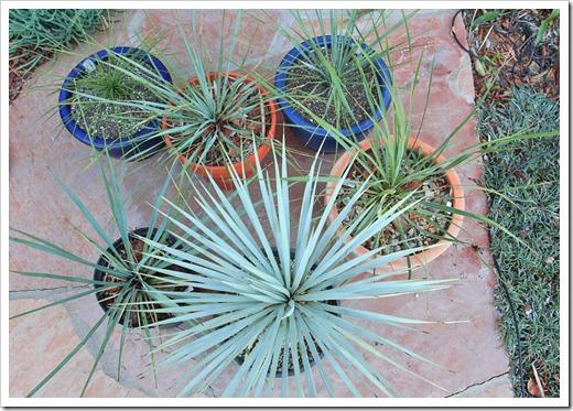 120226_Yucca-rostrata linearifolia_06