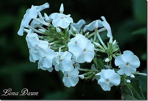 Phlox_FlowerPower