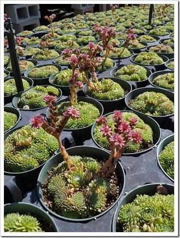 111001_succulent_gardens_sedums_in_flower_01