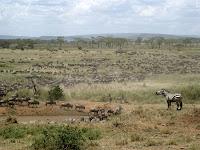 Wildebeest Migration - Serengeti