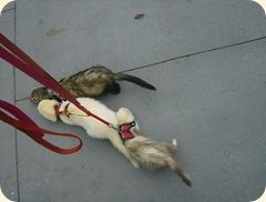 ferret life 004