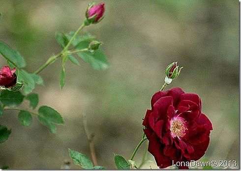 Rose_DrHuey2