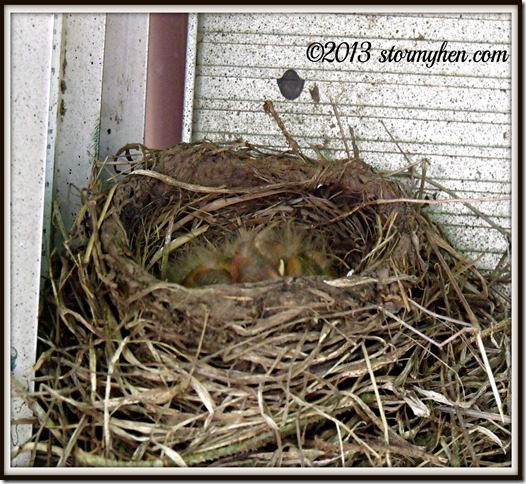 baby robins 2