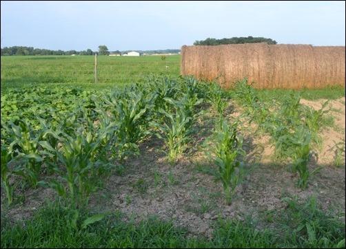 sweet corn July 8