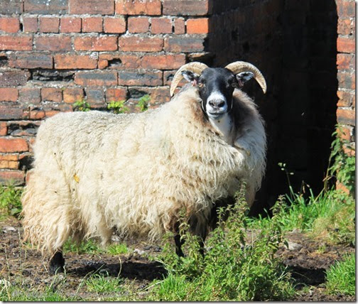 17-sheep