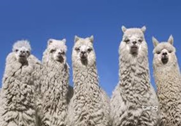 Amazing Pictures of Animals, photo, Nature exotic, funny, incredibel, Zoo, Vicugna pacos, Alpaca, Alex (4)