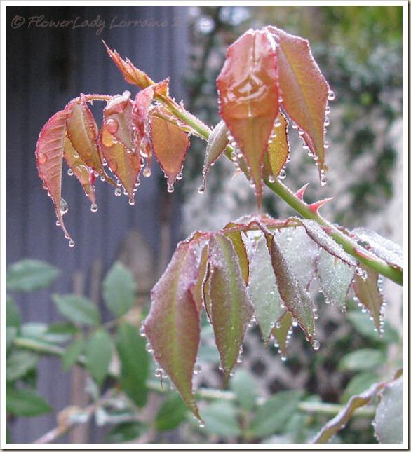 01-06-rain-roseleaves