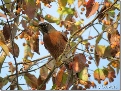 American Robin in the choke cherry