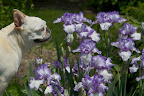 Francesca, Martha's lovely purple and white iris are in full bloom.  This type is called a bearded iris.  We should look around and see what other flowers in the blue family are blooming.